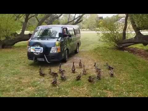 Funny ducks at Lake Hayes, New Zealand