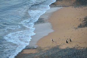 new-zealand-penguins