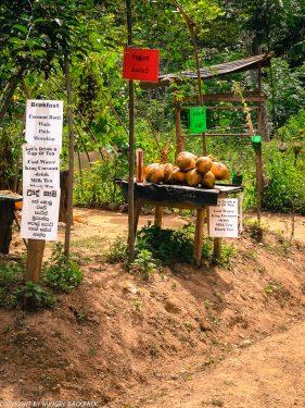 Ella hikes nine arch bridge_coconuts for sale along railway tracks