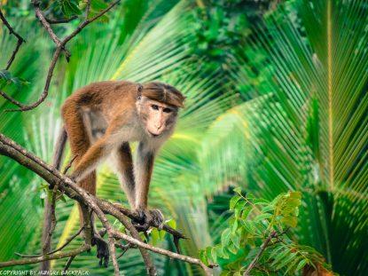 Monkeys in Mirissa