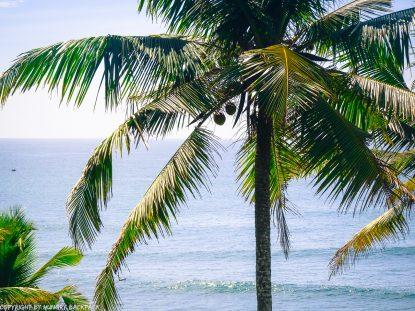 Mirissa_palmtrees