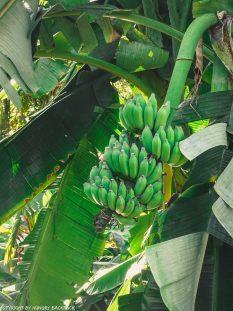 Things to do Mirissa_banana tree