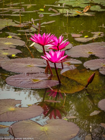 Botanical Garden Kandy_lotus flower in lake