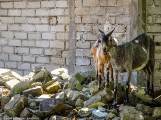 Gili Trawangan on year after earthquake_goats standing on depris and rubble searching for food