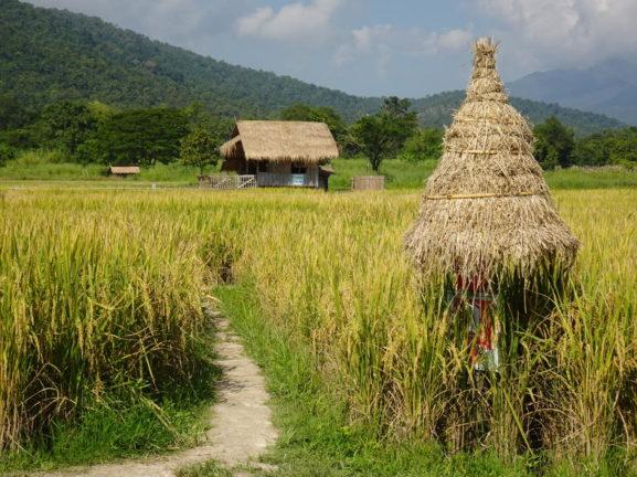 Rice fields at Huay Tueng Tao